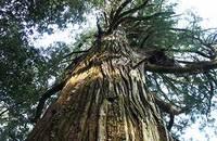 常磐山の大杉