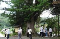 大旧山光超寺の大イチョウ
